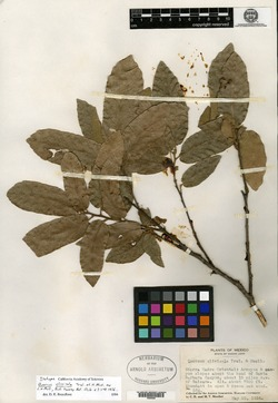 Image of Quercus clivicola