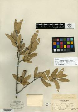 Image of Quercus brandegeei