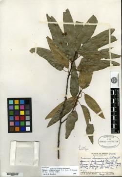 Quercus canbyi image