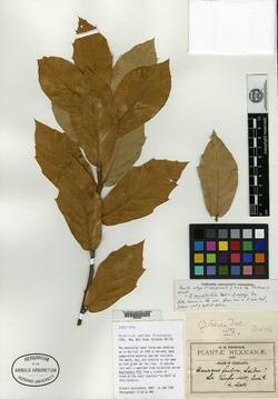 Quercus aerea image