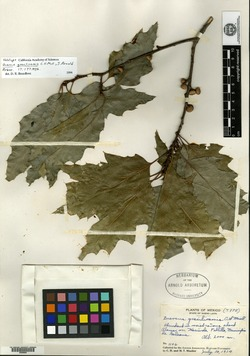 Image of Quercus canbyi