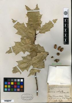 Image of Quercus robusta
