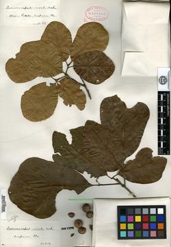 Image of Quercus caput-rivuli