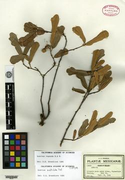 Image of Quercus subtriloba