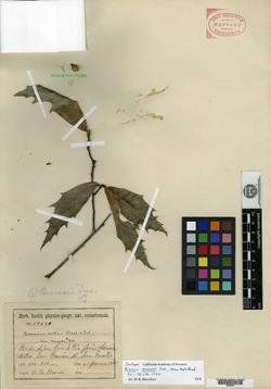 Image of Quercus brenesii