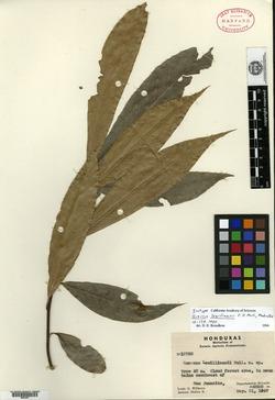 Quercus benthamii image
