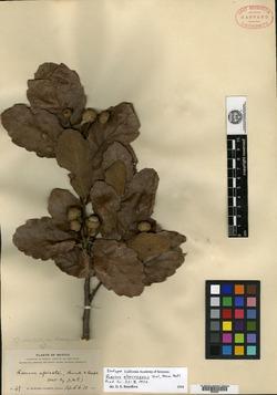 Quercus obtusata image