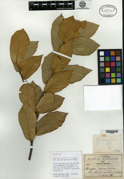 Image of Quercus aerea