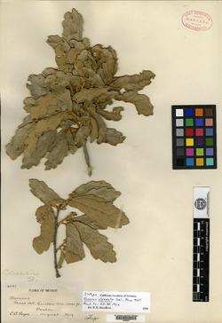 Image of Quercus alveolata