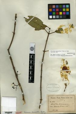 Image of Mecranium haemanthum