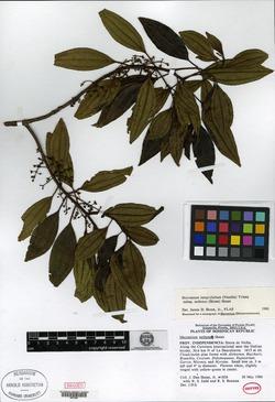 Mecranium integrifolium image