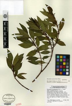 Mecranium septentrionale image