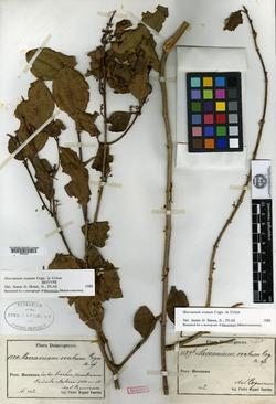 Mecranium ovatum image