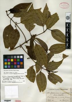 Image of Mecranium latifolium