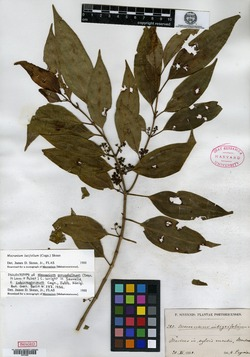 Mecranium latifolium image