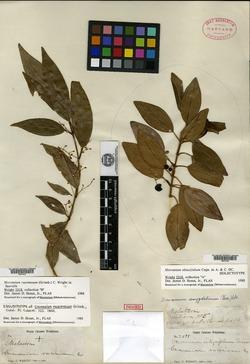 Mecranium racemosum image