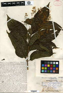 Miconia insularis image