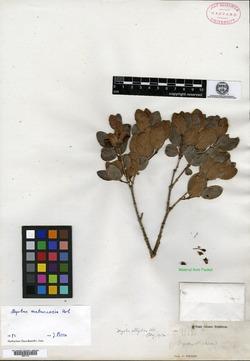 Image of Myrtus elliptica