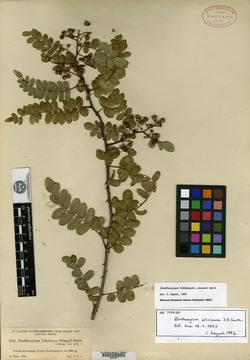 Image of Zanthoxylum foliolosum