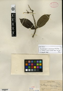 Zanthoxylum panamense image