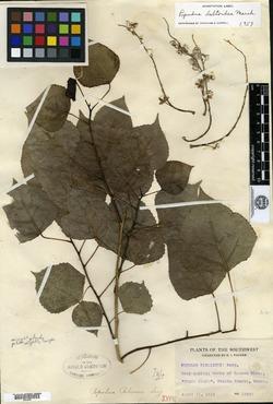 Image of Populus palmeri