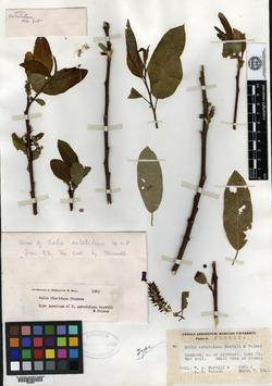 Image of Salix astatulana