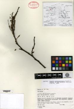 Image of Populus guzmanantlensis