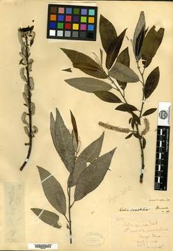 Image of Salix coactilis