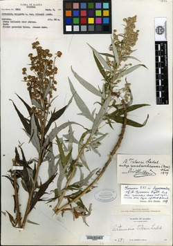 Image of Artemisia gormanii