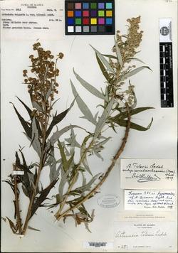 Image of Artemisia gormanii