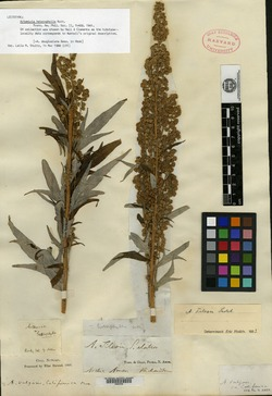 Image of Artemisia heterophylla