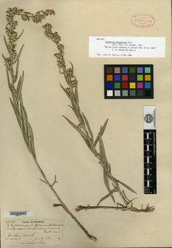 Image of Artemisia natronensis