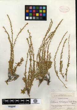 Image of Artemisia petrophila