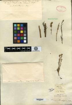 Image of Artemisia pumila