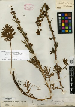 Image of Artemisia richardsoniana