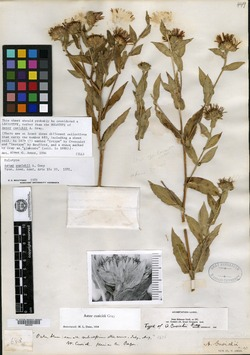 Image of Aster cusickii
