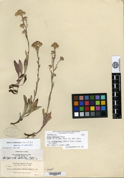 Image of Aster delectus