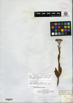 Image of Aster denudatus