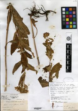 Symphyotrichum foliaceum var. canbyi image