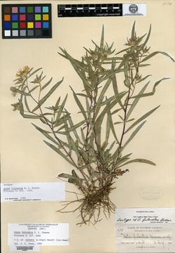 Image of Aster fulcratus