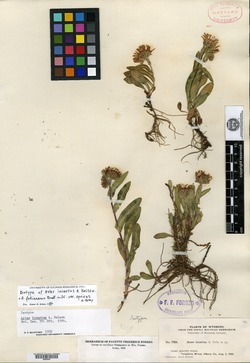 Image of Aster incertus