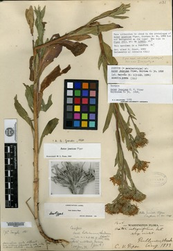 Image of Aster jessicae