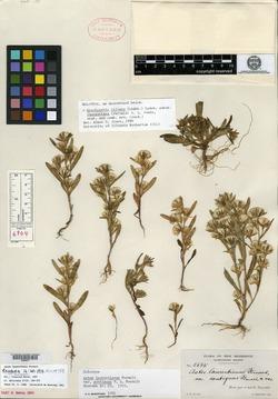 Image of Symphyotrichum laurentianum