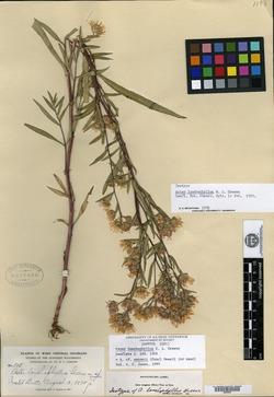 Image of Aster lonchophyllus