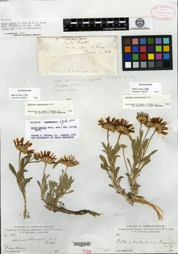 Image of Aster parryi
