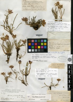 Image of Aster pulchellus