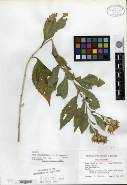 Image of Aster saxicastellii