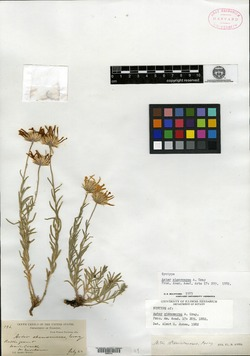 Image of Aster stenomeres