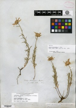 Aster stenomeres image