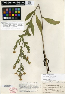 Image of Aster woldenii